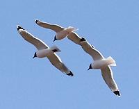 Adult Franklin's gulls in breeding plumage