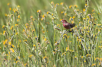 A male Purple finch perches among fiddleheads.