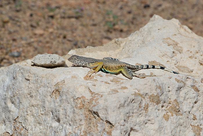 442880016 a wild male western zebra-tailed lizard callisaurus draconoides rhodostictus perches on a rock along fish slough road in mono county california