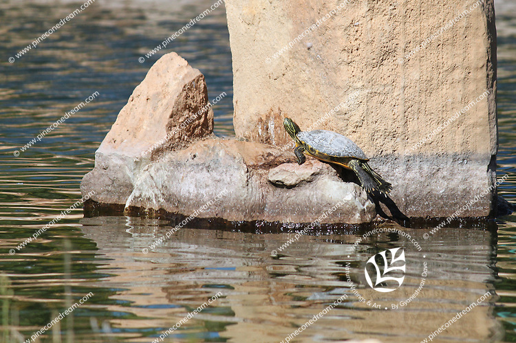 Turtle coming out of water,climbing rock.