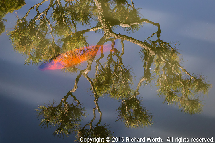 A tree reflects on the surface and an orange koi swims below at a Japanese Garden koi pond.