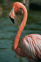 Greater Flamingo, with curved neck. Florida.