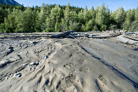 Bear tracks in the sand along the Taku River, Northern B.C.