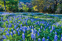Hill Country Bluebonnet Landscape - A field of bluebonnets as the sun is getting lower in the sky with just a touch of light over the wildflowers in this abundant field of lupines. The Texas Hill country has always been one of my favorite places to catch bluebonnets and other texas wildflowers because of the natural setting available. Taking one of the many country roads we found this great field of texas lupines.
