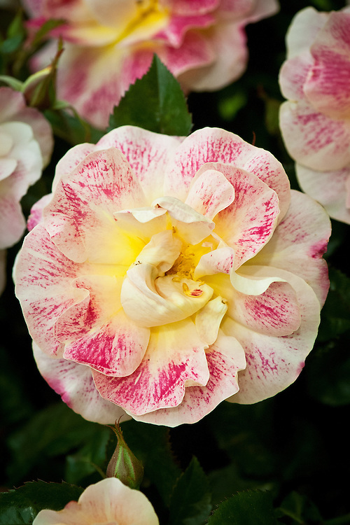 Rosa Champagne Cocktail ('Horflash'), early July. A Floribunda rose with fragrant, semi-double, pink-flecked, pale yellow flowers in summer and autumn.