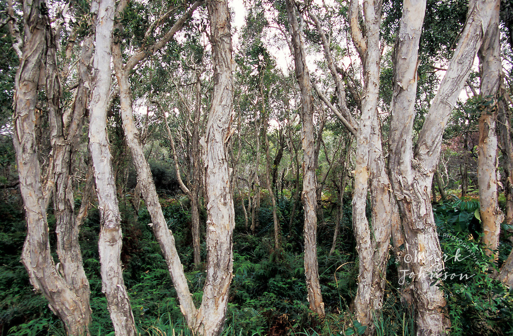 Malaleuca (Paperbark) trees, North Stradbroke Island, Queensland ...