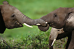 African elephants intertwine their trunks, Amboseli National Park, Kenya