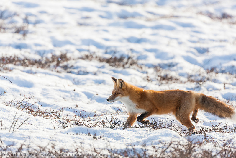 Red fox hunts on the snowy tundra of the Arctic North Slope, Alaska.