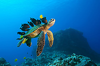 green sea turtle, Chelonia mydas, endangered species, being cleaned by yellow tang, Zebrasoma flavescens, endemic gold-ring surgeonfish, Ctenochaetus strigosus, and endemic saddle wrasse, Thalassoma duperrey, Kona Coast, Big Island, Hawaii, USA, Pacific Ocean