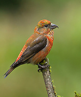 Red crossbill (Loxia curvirostra) Adult male perched on a mossy branch. His plumage is a mixture of red and gold which gives him an overall orange appearance from a distance.<br /> Woodinville, King County, Washington State<br /> 6/2/2012