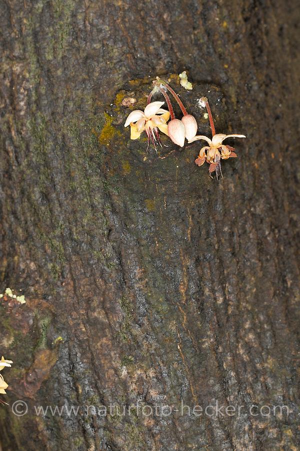 Kakaobaum, Echter Kakaobaum, Kakao, Blüten am Stamm des Kakaobaumes, Stammblütigkeit, Cauliflorie, Kauliflorie, Theobroma cacao, cacao tree, cocoa tree, cacao, Chocolate Nut Tree, Cauliflory, Schokolade