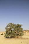 Israel, Negev, Acacia tree in Nahal Tzihor