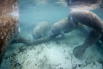 Manatees At Three Sisters Spring