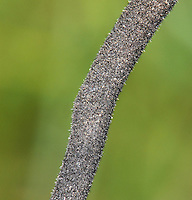 hairy earthtongue<br /> Trichoglossum hirsutum