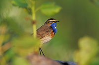 White-spotted Bluethroat, Luscinia svecica cyanecula , male, Fretterans, France, Europe