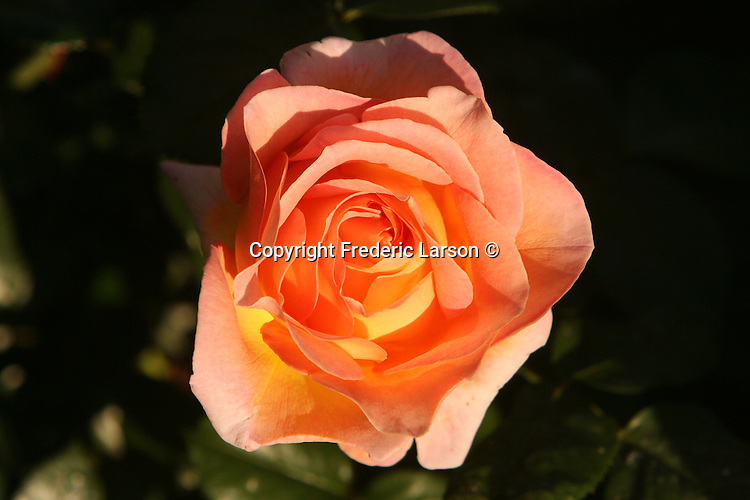 Roses bloom in the spring in San Rafael, California.