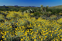 Desert Marigold, Baileya multiradiata, blooming, Big Bend National Park,Texas, USA