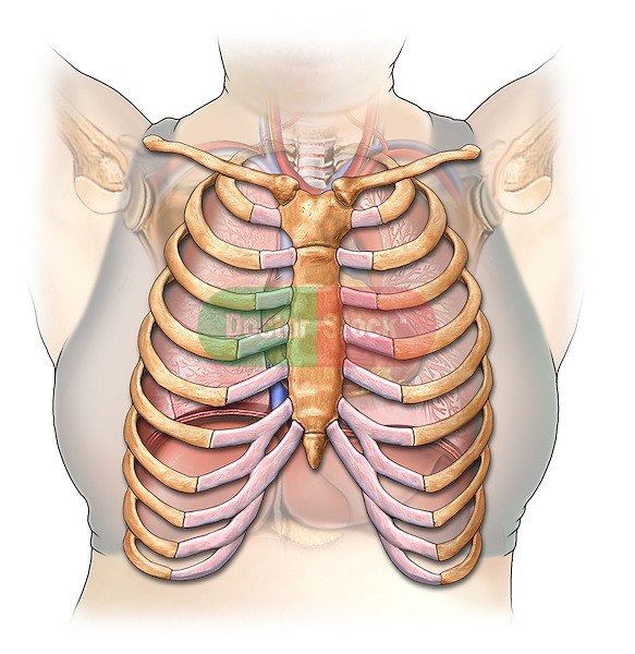 This stock image features a single anterior view of a white female chest exposing the ribs. Ghosted below the ribs are structures of the mediastinum, with heart, lungs, upper liver and diaphragm.
