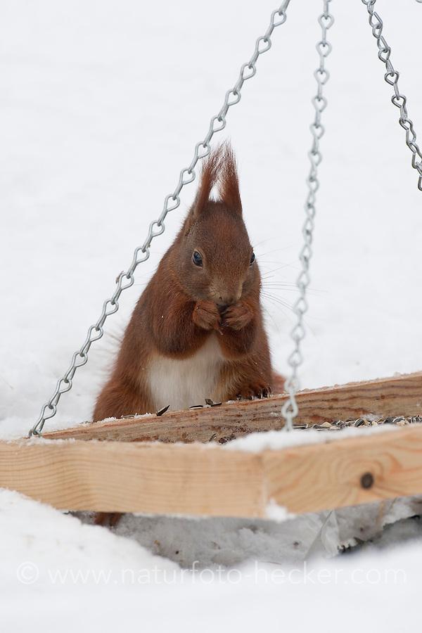 Europäisches Eichhörnchen, an der Vogelfütterung, Fütterung im Winter bei Schnee, frisst Körner vom Futtertisch, Winterfütterung, Sciurus vulgaris, European red squirrel