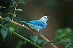 Blue-gray Tanager (Thraupis episcopus)  . animal - birds. .Trinidad....