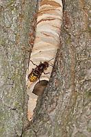 Hornisse, am Eingang zum Nest in altem Baum, Baumhöhle, Hornissennest, Hornissen, Vespa crabro, hornet, brown hornet, European hornet