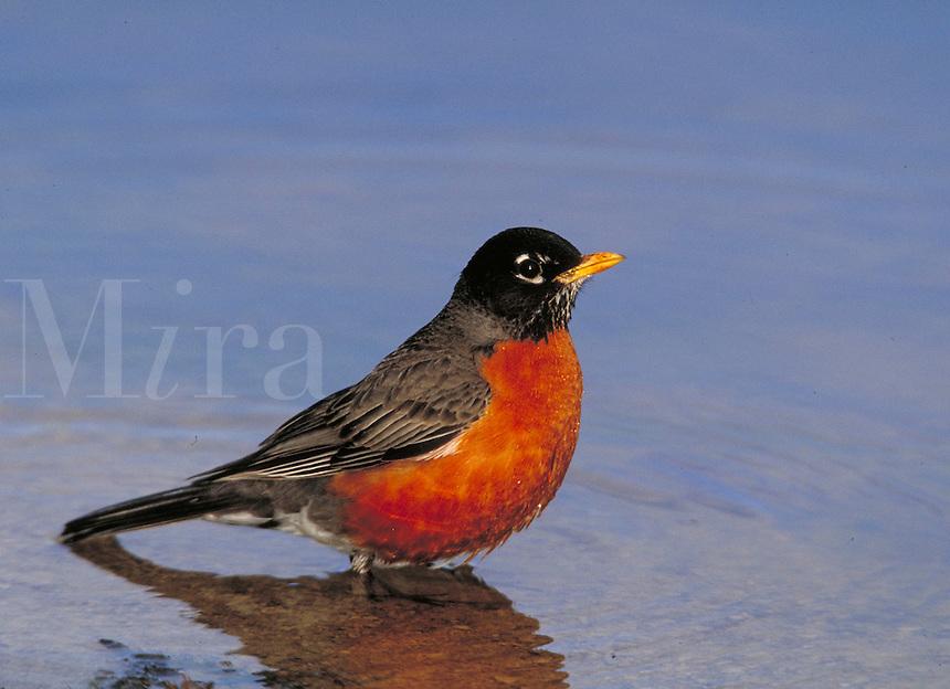 American Robin. Canada Ontario, Pt.Pelee National Park.