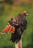 542100008 a captive wildlife rescue red-tailed hawk buteo jamaicensis perches on a fence post in central colorado