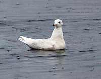 Glaucous gull first winter