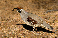 574470010 a wild male gambels quail callipepla gambellii forages on open ground at the salton sea national wildlife refuge in southern california