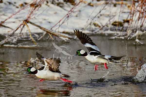Two Bufflehead duck drakes (Bucephala albeola) taking flight.  Klamath Basin, Oregon-California border.  Late winter.