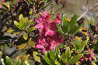Rostblättrige Alpenrose, Alpen-Rose, Rhododendron ferrugineum, Alp Rose, Rusty Leaved Alprose, Rhododendron ferrugineux