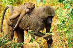A Baboon piggyback in Africa