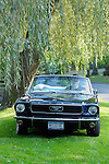 Man in sunglasses and black shirt in his 1968 Mustang convertible on lawn under willow tree.