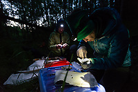 Jesika Reimer, right, Assistant Zoologist at UAA's Alaska Center for Conservation Science (ACCS), and Tracey Gotthardt, left, Director of the Applied Environmental Research Center (AERC), work together to band and radio tag Little Brown Bats (Myotis lucifugus) on Joint Base Elmendorf-Richardson (JBER) near Anchorage, Alaska. Researchers from ACCS and the AERC are working with DOD wildlife managers to determine where JBER bats roost and assess their potential vulnerability to white-nose syndrome. Photo by James R. Evans