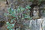 Cape eagle owl, Samburu National Reserve, Kenya