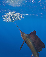 RG42107-Dv. Atlantic Sailfish (Istiophorus albicans) feeding on Spanish sardines (Sardinella aurita). Gulf of Mexico, Mexico, Caribbean Sea. Cropped to vertical from native horizontal format.<br /> Photo Copyright © Brandon Cole. All rights reserved worldwide.  www.brandoncole.com