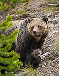 Grizzly bear sow and young cub. Yellowstone National Park, Wyoming.