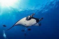 scuba divers and manta ray, Manta birostris, San Benedicto, Revillagigedo (Socorro) Islands, Mexico, East Pacific Ocean