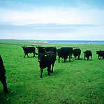 Cattle in green grass field, Papa Westray, Orkney Islands, Scotland