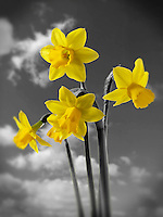 Spring daffodils flowering