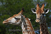 Bob, ANIMALS, REALISTISCHE TIERE, ANIMALES REALISTICOS, wildlife, photos+++++,GBLA3832,#a#, EVERYDAY ,giraffe,giraffes