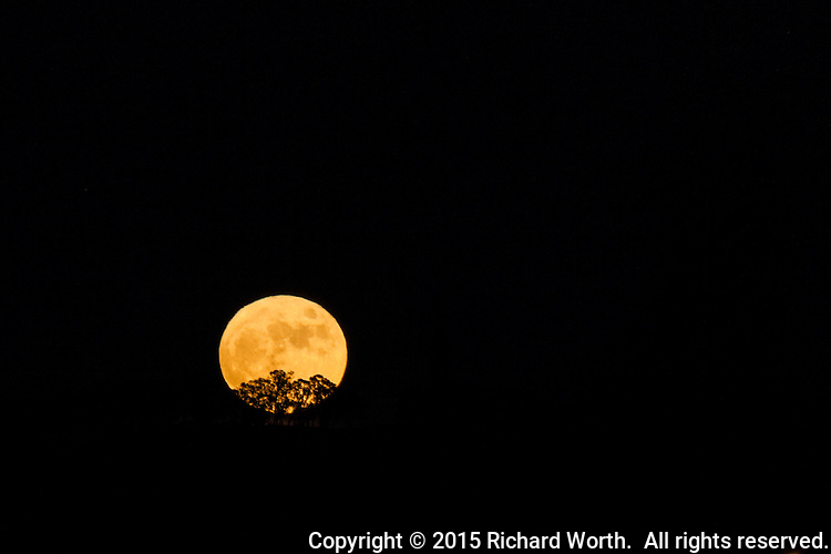 November's Full Beaver Moon rises over the East Bay Hills and through the branches of tree.