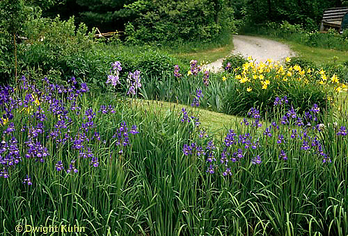 HB05-022x  English Cottage Garden - yellow day lilies, bearded iris - Hemerocallis spp, Iris spp.