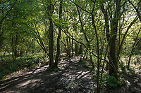 Footpath through ancient woodland at Stoke Woods, Bicester, Oxfordshire owned by the Woodland Trust