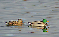 Mallard hen and drake, Magness Lake near Heber Springs, Arkansas.