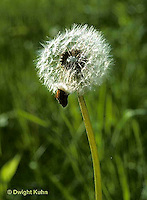 DN04-001z  Dandelion Seed Puff Taraxacum officinale.