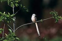 Scissor-tailed Flycatcher, Tyrannus forficatus,male, Natalia, Texas, USA