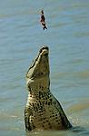 A 30 km de Darwin, la rivière Adelaïde heberge les crocodiles sauteurs. Ces crocodiles se sont habitués à sortir de l'eau pour se saisir de steaks pendus au bout d'un fil. Des croisières sont organisées pour venir les observer. Ce comportement est naturel. Certains animaux peuvent sortir de plus de 3 m hors de l'eau à la verticale pour attraper un oiseau sur une branche..Australie. Territoire du Nord. crocodiles