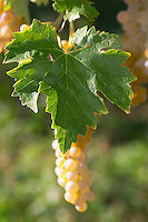 Bunches of ripe grapes. Ugni Blanc. Bordeaux, France