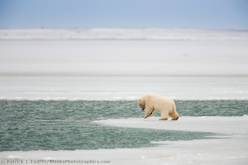 Young polar bear cub pounces on the ice near the open edge of water in the Beaufort Sea.